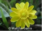 Close-up photo of a California Buttercup (Ranunculus californicus) flower