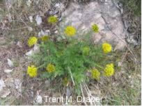 Photo of Gray's Desert-parsley (Lomatium grayi) growing in its natural habitat