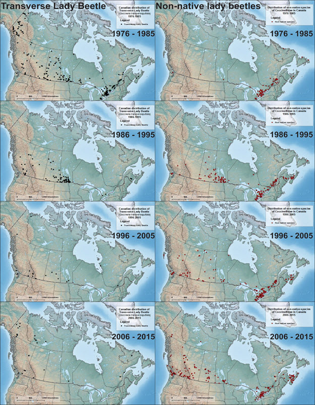 Four pairs of map panels illustrating the Canadian distribution of the Transverse Lady Beetle (see long description below)