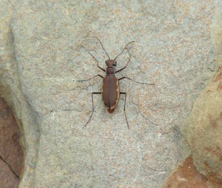 Photo: Cobblestone Tiger Beetle on rock
