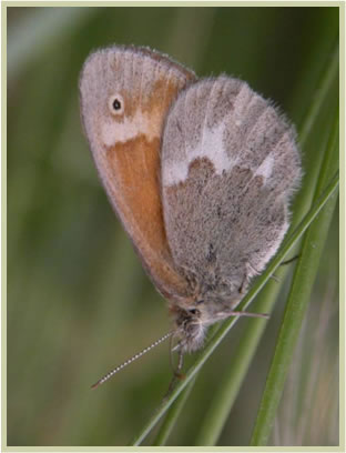 Photo of the Marine Ringlet.