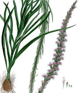 Colour illustration of Liatris spicata.
