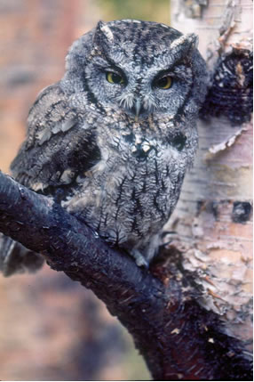 "Photo of a Western Screech-Owl perched on a branch.  This owl has ""ear tufts"" and yellow eyes, and is grey-brown overall with fine  dark vermiculations on a whitish breast and mottled streaks throughout the rest  of the plumage."