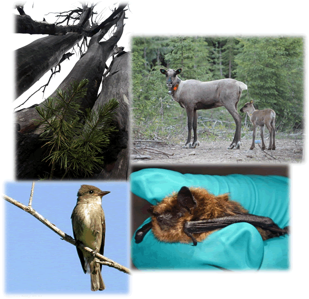 This is a collage of 4 photos. The first photo shows a naturally regenerating whitebark pine seedling growing under the shadow of three dead mature whitebark pine trees. The second photo depicts a Southern Mountain woodland caribou cow with a newly born calf following closely behind. It was taken in a caribou maternity pen North of the town Revelstoke, B.C. Both cow and calf have ear tags and wildlife collars to track their movements once they are released back into the wild. The third photo shows an olive-sided flycatcher perches conspicuously on a bare branch at the top of a tree where it can intently watch for insects. It has a large head and short tail, with dark coloured head and flanks contrasted by a while throat and belly. The fourth photo shows a very healthy little brown bat is securely held by a gloved hand prior to being released in Glacier National Park, British Columbia. This adult male little brown bat weighs between 4-5 grams, approximately as much as three pennies..