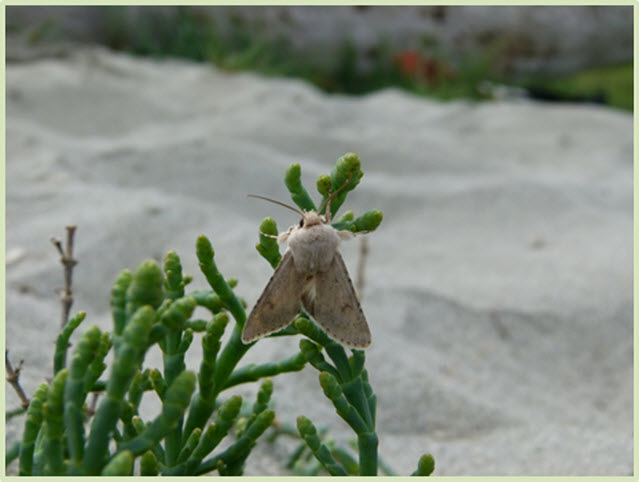 Photo of Edwards' Beach Moth