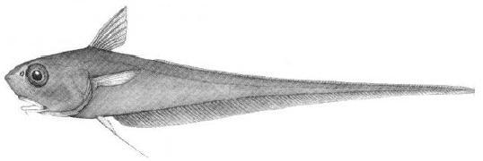 Illustration of the Roundnose Grenadier showing lateral view