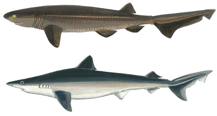 Bluntnose Sixgill Shark and Tope Shark