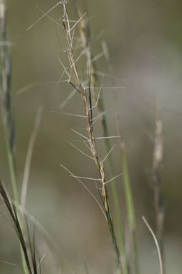 This is a close up photo of the top third of a single stem of Forked Three-awned Grass. The lower half of the stem retains a greenish colour with the awns that run perpendicular to the stem are dried and brown.