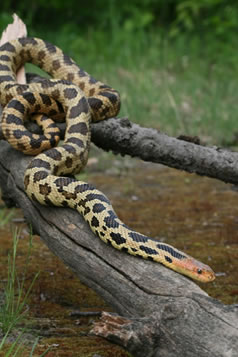 This photograph depicts an Eastern Foxsnake traversing down a dried tree branch. The branch has broken off the tree and is laying over a mossy ground cover. The snake is facing the lower right in the photo with its next outstretched and the main body coiled and atop the actual branch. The snake has a coppery coloured head with the body being scaled with contrasting yellow and black blotches.