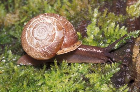 Illustration of the Puget Oregonian snail in British Columbia.