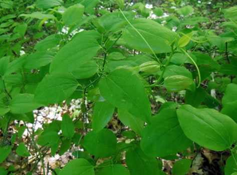 Image of Round-leaved Greenbrier