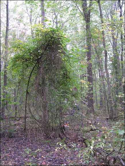 Image of Round-leaved Greenbrier (see long description below)