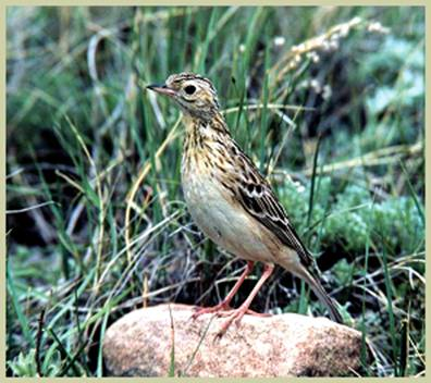 Photo: Sprague's Pipit