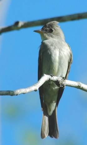 Photo of the Eastern Wood-pewee (see long description below).