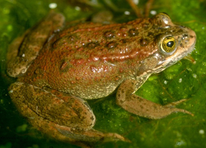 Photo of the Oregon Spotted Frog Rana pretiosa.