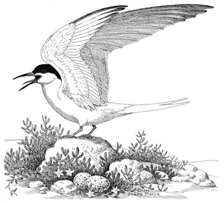 Illustration of the Roseate Tern (Sterna dougallii)