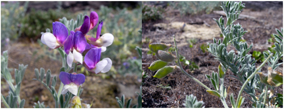 Two photos of the Silky Beach Pea (see long description below).