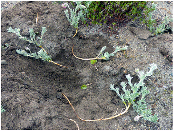 Photo showing the long rhizomes of several partially excavated Silky Beach Pea plants (see long description below).