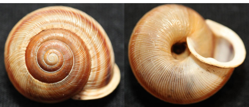 Broad-banded Forestsnail