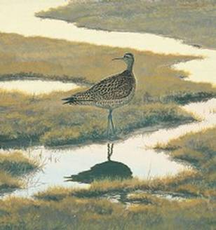 Painting of an Eskimo Curlew Numenius borealis by Robert Verity.