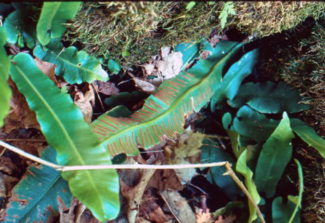 Photo of Hart's-tongue Fern.