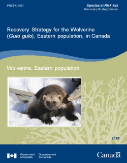 Cover :Recovery Strategy for the Wolverine (Gulo gulo) ,Eastern population, in Canada - 2014 [Proposed]