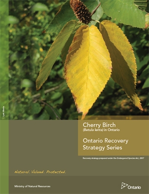 Cover photo: Part 2 - Recovery Strategy for the Cherry Birch (Betula lenta) in Ontario