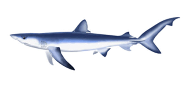 Image of the Blue Shark, Prionace glauca, lateral view