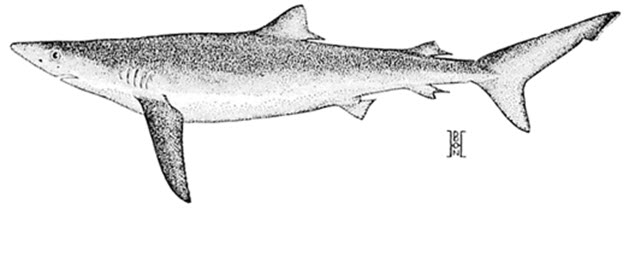 Illustration of the Blue Shark lateral view (see long description below)