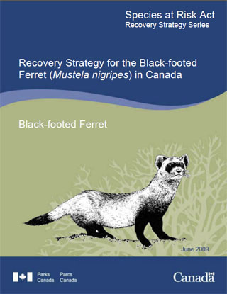 Species at Risk Act recovery strategy series, recovery strategy for the Black-footed Ferret (Mustela nigripes) in Canada.