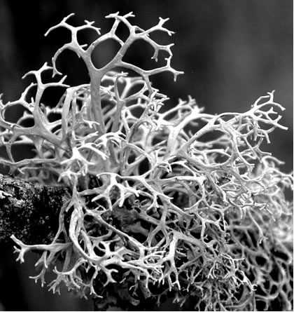 Photo of Pseudevernia cladonia thallus on a twig of Picea rubens. The image shows the matte texture of the thallus, which is repeatedly branched from the base. Internal branch-angles tend to curve slightly inward past the branching point in the form of a wishbone. The newly formed and younger branches are round to slightly flattened in cross-section, with older branches becoming more strap-shaped.
