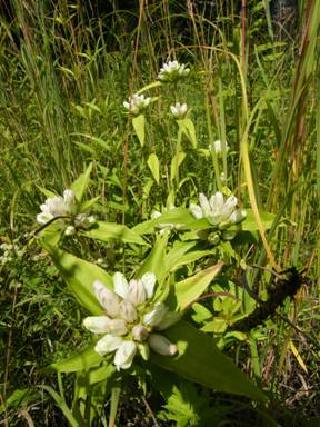 Photo of the White Prairie Gentian Gentiana alba showing growth form and details of the inflorescence.