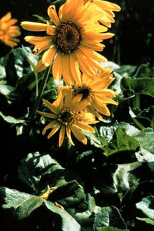 Photo of the Deltoid Balsamroot Balsamorhiza deltoidea.