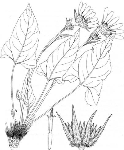 Illustration of the Deltoid Balsamroot showing entire plant, involucre and single floret.