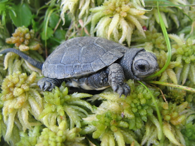 This is a close-up photograph of a Blanding's turtle hatchling. The turtle is facing right and the photograph is a side view. The hatchling is dark gray with a light gray head, large black eye, and light gray plastron. The hatchling is situated on sphagnum moss, which is pale green with flowers that are larger than the hatchling's head.
