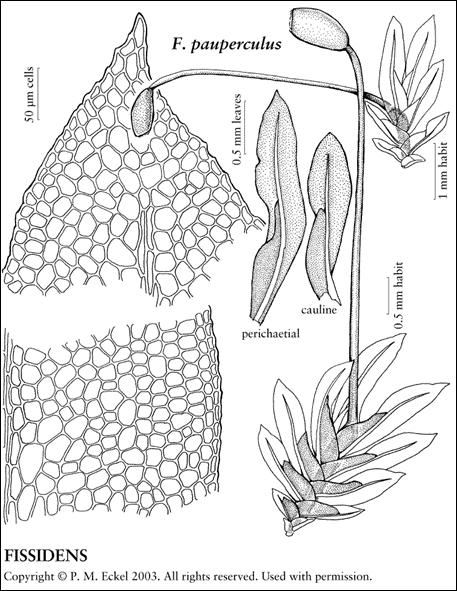 Visual representation of the poor pocket moss using drawings of the different parts of this moss.