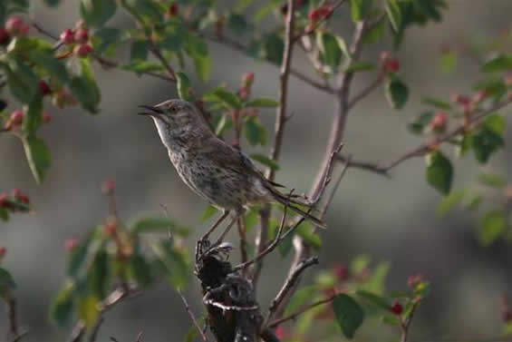 Photo of a Sage Thrasher Oreoscoptes montanus.