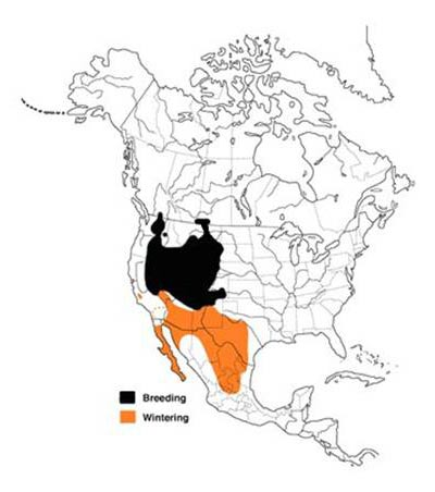 Map of the distribution of the Sage Thrasher in North America.