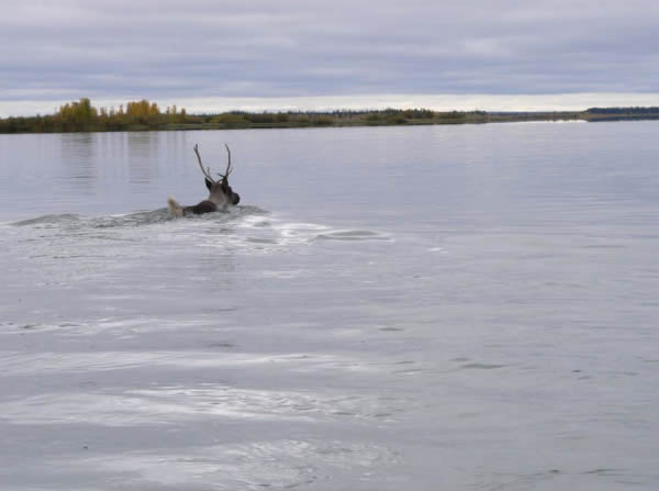 Photograph of a caribou swimming across a body of water.