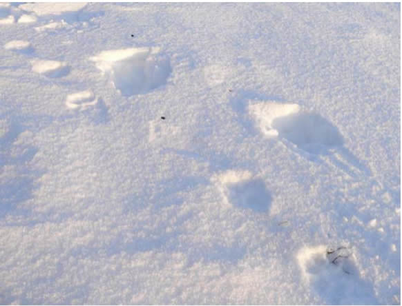 Photograph of wolf tracks fallowing caribou tracks north east of Cameron Hills.