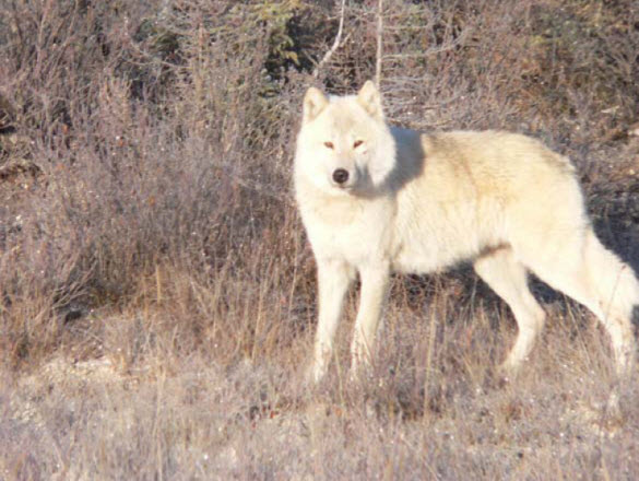 Photograph of wolf along Simpson Hwy.