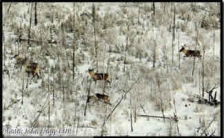 Aerial view of boreal caribou roaming the woods.
