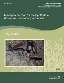 Cover photo of the publication for Management Plan for the Spotted Bat.