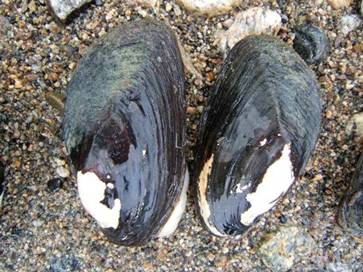 Photo of live Rocky Mountain Ridged Mussels Gonidea angulata at Vaseux Lake.