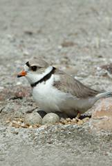 Nesting Piping Plover