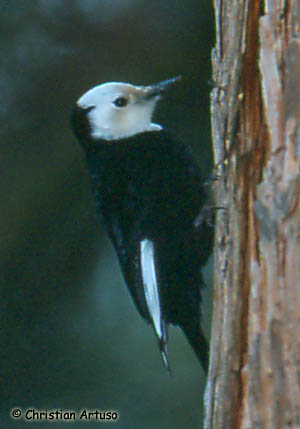 White-headed Woodpecker Photo 1