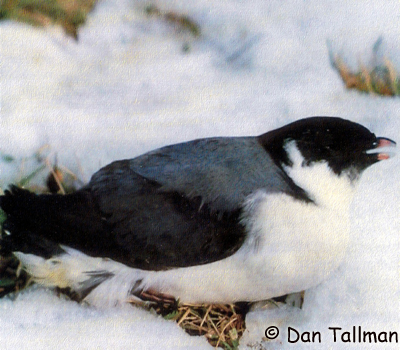 Ancient Murrelet Photo 1