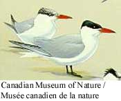 Caspian Tern Photo 1