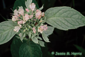 Hoary Mountain-mint Photo 1