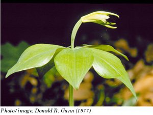 Small Whorled Pogonia Photo 1